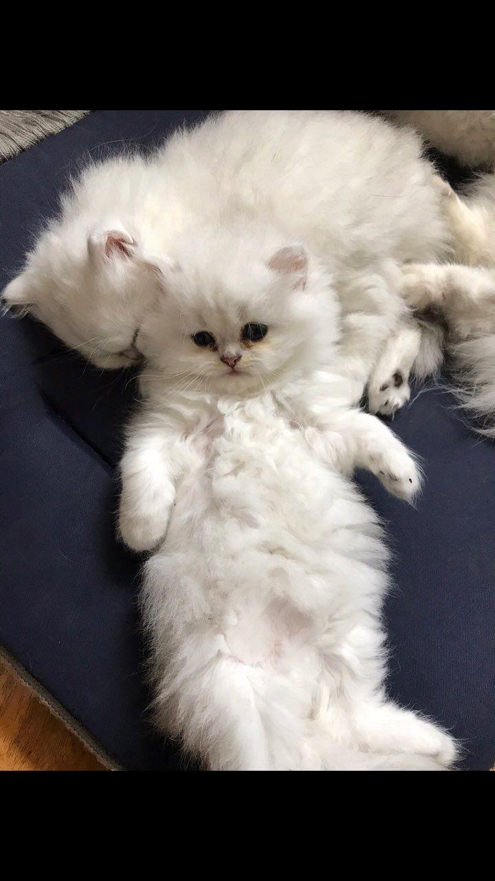 Dunedin Cats For Sale Otago Classifieds Ads, Dunedin Cats
